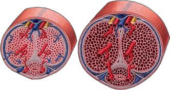 trimassix-review-howitworks-vasodilation