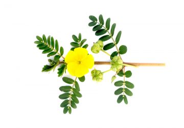 Tribulus terrestris flower which is also a Progentra ingredient